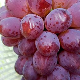 日本 岡山縣.紫苑紅葡萄