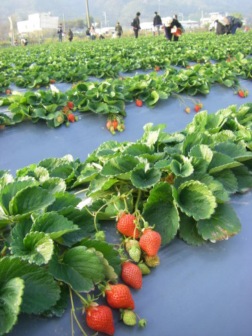 新埔採草莓