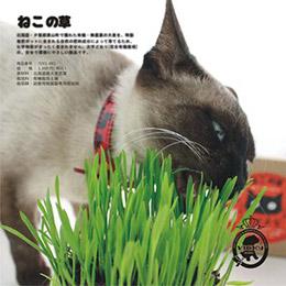 北海道速成貓草種子