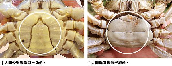 辨認大閘蟹公母的方法看腹部,公蟹呈三角形,母蟹呈盾形。