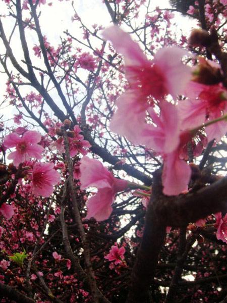 ▲ 陽明山吹拂而落的櫻花雨,讓遊客看得癡迷。(圖/記者簡怡欣攝)