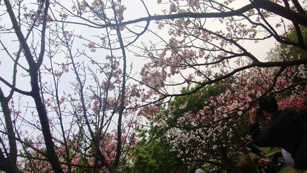 ▲陽明山盛開的櫻花,造就出宛如世外仙境美景。(圖/記者簡怡欣攝)