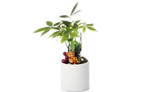 中美木棉(發財樹)