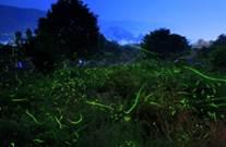 日本櫻花季進入尾聲 賞螢季接力閃耀  樂天旅遊精選日本「人氣夢幻賞螢名所」