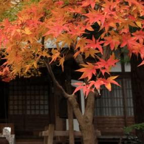 秋日賞楓推薦:神奈川縣鎌倉的覺園寺