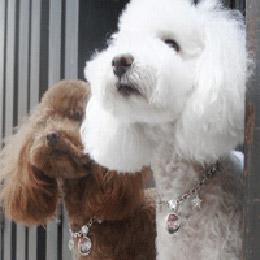 狗狗項鍊 - 極光星鍊款