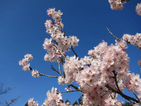 ▲阿里山櫻花季,周邊有搶眼紅色復古小火車、雲海、日出等美景。(圖/嘉義林管處)