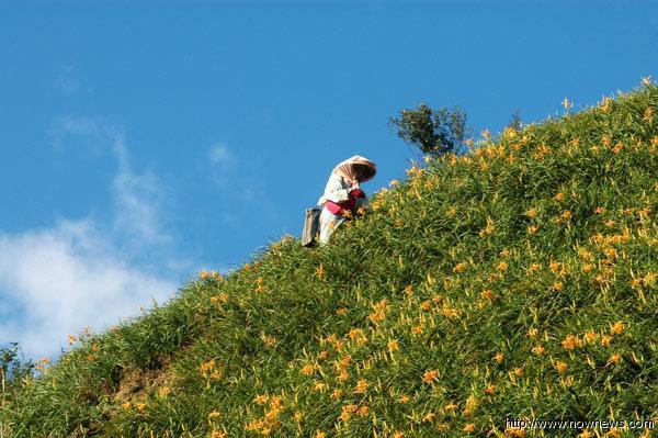 ▲金針栽種的山坡作業不易,農民採收不僅辛苦,也有一定的危險性。(記者謝禮仲/攝影)