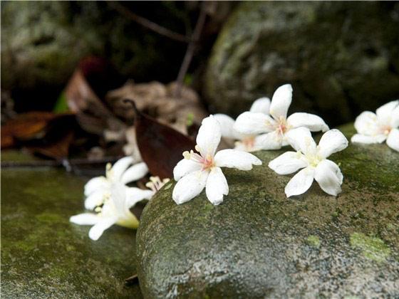 ▲5月盛開的油桐花海蔓延山林。(圖/擷自客委會2014客家桐花季)